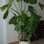 Уход за монстерой как ухаживать и размножать цветок в домашних условиях, фото