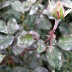 Меры борьбы с мучнистой росой на крыжовнике, смородине и других растениях