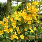 Посадка и уход за настурцией описание, правила выращивания, фото цветов