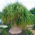 Нолина — уход в домашних условиях за пальмой бокарнеей, виды с фото, приметы и суеверия