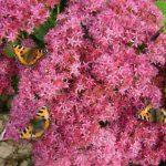 Цветок очиток фото, особенности посадки и ухода за растением, разновидности седума