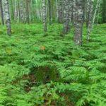 Папоротник орляк обыкновенный где растёт и как размножается, использование растения в кулинарии и