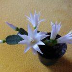 Пасхальный кактус уход за рипсалидопсисом в домашних условиях, виды и сорта, описание и