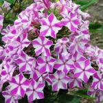 Флоксы многолетние посадка и уход, размножение семенами и другими способами метельчатого и других