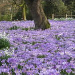 Луковичные и травянистые первоцветы описание, название и фото весенних цветов