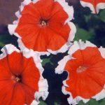 Сорта и гибриды петунии ампельный и каскадный цветок, фото видов с названием