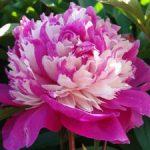 Садовые пионы описание и красивые фото белых, розовых, красных простых и гибридных цветов