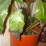 Спацифилус в домашних условиях уход, почему желтеют, сохнут и чернеют кончики листьев