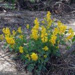 Первоцвет хохлатка фото и разновидности цветка, размножение, выбор места для посадки и полезные