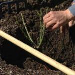 Плетистые розы фото и особенности посадки в открытый грунт, выбор и обработка саженцев, советы по