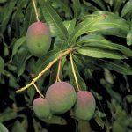 Сорта и виды манго описание с названиями и фото