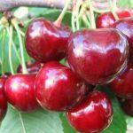 Сорт черешни Крупноплодная описание с фото и отзывы