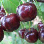 Чудо вишня описание сорта, фото, отзывы