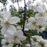 Самоплодные сорта вишни описание и фото для разных регионов
