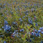 Черника садовая описание сорта, посадка и уход, фото, отзывы