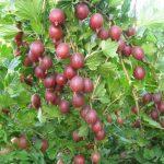 Удобрение и подкормка крыжовника чем подкормить осенью и весной
