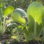 Китайская капуста (пак чой) популярные сорта, выращивание и уход, фото, отзывы