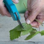 Размножение смородины черенками особенности хранения в домашних условиях, видео