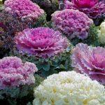 Листовая капуста (кале, кейл) популярные сорта, фото, выращивание и уход, отзывы