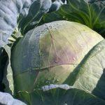 Капуста Подарок описание сорта, выращивание и уход, фото, отзывы