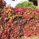 Размножение винограда девичий как размножить черенками, отводками, семенами и другими способами