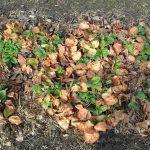 Уход за клубникой весной — советы бывалых садоводов по подкормке, защите от вредителей и прочим