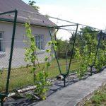 На каком расстоянии сажать виноград друг от друга схема посадки в зависимости от сорта