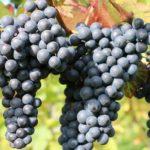 Сорта винограда для вина особенности выращивания