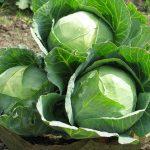Капуста Атрия описание сорта, особенности выращивания и ухода, фото, отзывы