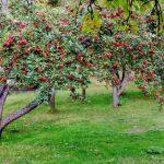 Лучшие сорта яблонь для Подмосковья описание с фото, выращивание и уход, отзывы