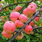 Сорт яблони Мельба описание с фото, выращивание и уход, отзывы