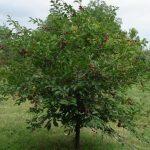 Лучшие сорта вишни для средней полосы России особенности выращивания, фото, отзывы
