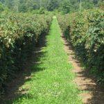 Садовая ежевика посадка и уход, выращивание, размножение, обрезка