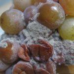 Чем обработать виноград весной после открытия народные средства и химические препараты