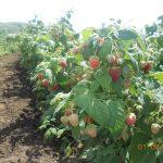 Малина Геракл описание сорта, фото, выращивание и уход, отзывы