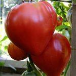 Томат бычье сердце характеристика и описание сорта помидоров, особенности выращивания, фото, отзывы