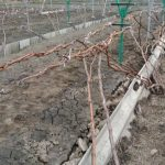 Чем опрыскивать виноград весной обзор препаратов для обработки от болезней и вредителей
