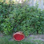 Пересадка смородины на новое место когда лучше — осенью или весной, особенности ухода