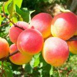 Сорт абрикоса Саратовский Рубин описание с фото, выращивание и уход, отзывы