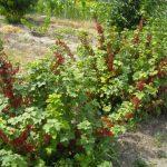 Смородина красная Ранняя сладкая описание сорта, фото, отзывы