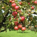 Сорт яблони Жигулевское описание с фото, посадка и уход, отзывы