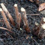 Размножение ремонтантной малины черенками и другими способами
