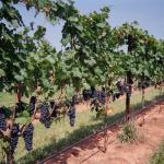 Лучшие сорта винограда с фото и описанием, отзывами белые, розовые, тёмные, морозостойкие, столовые