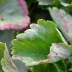 Клубника (земляника) Ламбада описание сорта, фото, отзывы, особенности выращивания