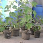 Посадка чёрной смородины как правильно посадить весной и осенью, схема как сажать, видео