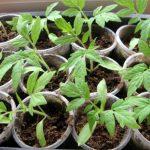Чем и когда лучше подкармливать рассаду помидоров в домашних условиях, в том числе народные