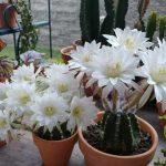 Эхинопсис — виды и названия с фото, уход в домашних условиях
