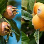 Мушмула германская (кавказская) — полезные свойства, посадка и уход, фото