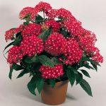 Пентас — выращивание цветка из семян и уход в домашних условиях, сорта с фото