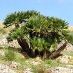 Пальма Хамеропс — выращивание из семян в домашних условиях, виды с фото